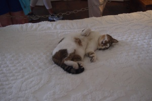 One of the many 6 toed cats, this one is relaxing on the master bed.