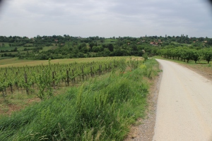 some of the vineyards surrounding the Monasteries in Fruska Gora