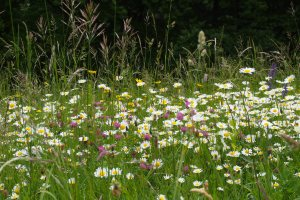 Beautiful Spring wild flowers, perhaps offspring of flowers seen my Mum's childhood eyes.