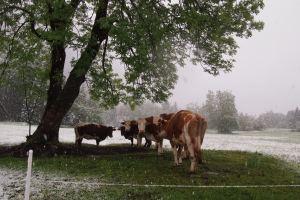 The cows looked vey unimpressed, near Lake Bohinj