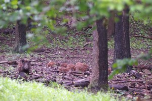 Wild pig family in the Vienna Woods, the babies are so cute.
