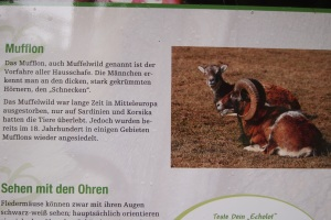 This is what that awesome Mouflon looked like.