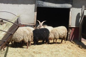 Hungarian sheep